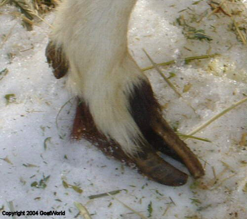 An good example of badly overgrown hooves