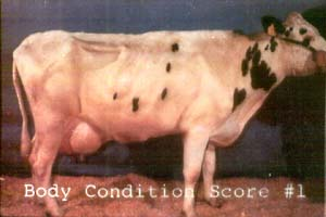 photo: cow with BCS 1