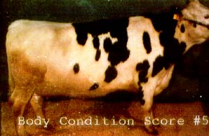 photo: cow with BSC 5
