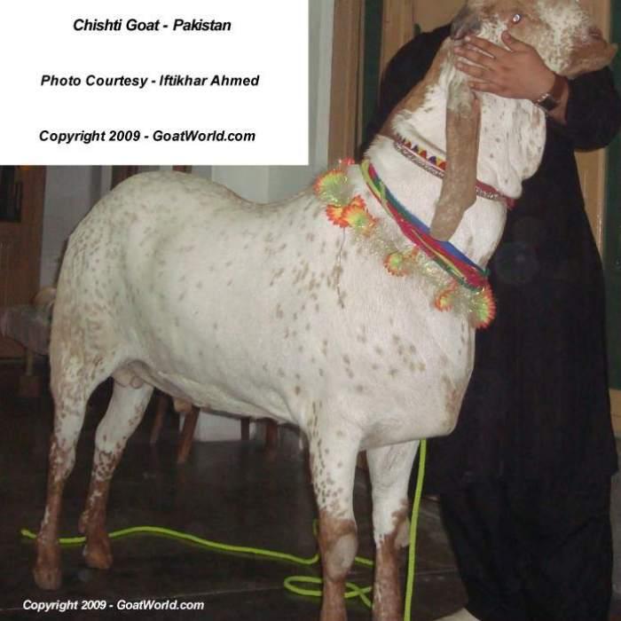 Nachi Goat