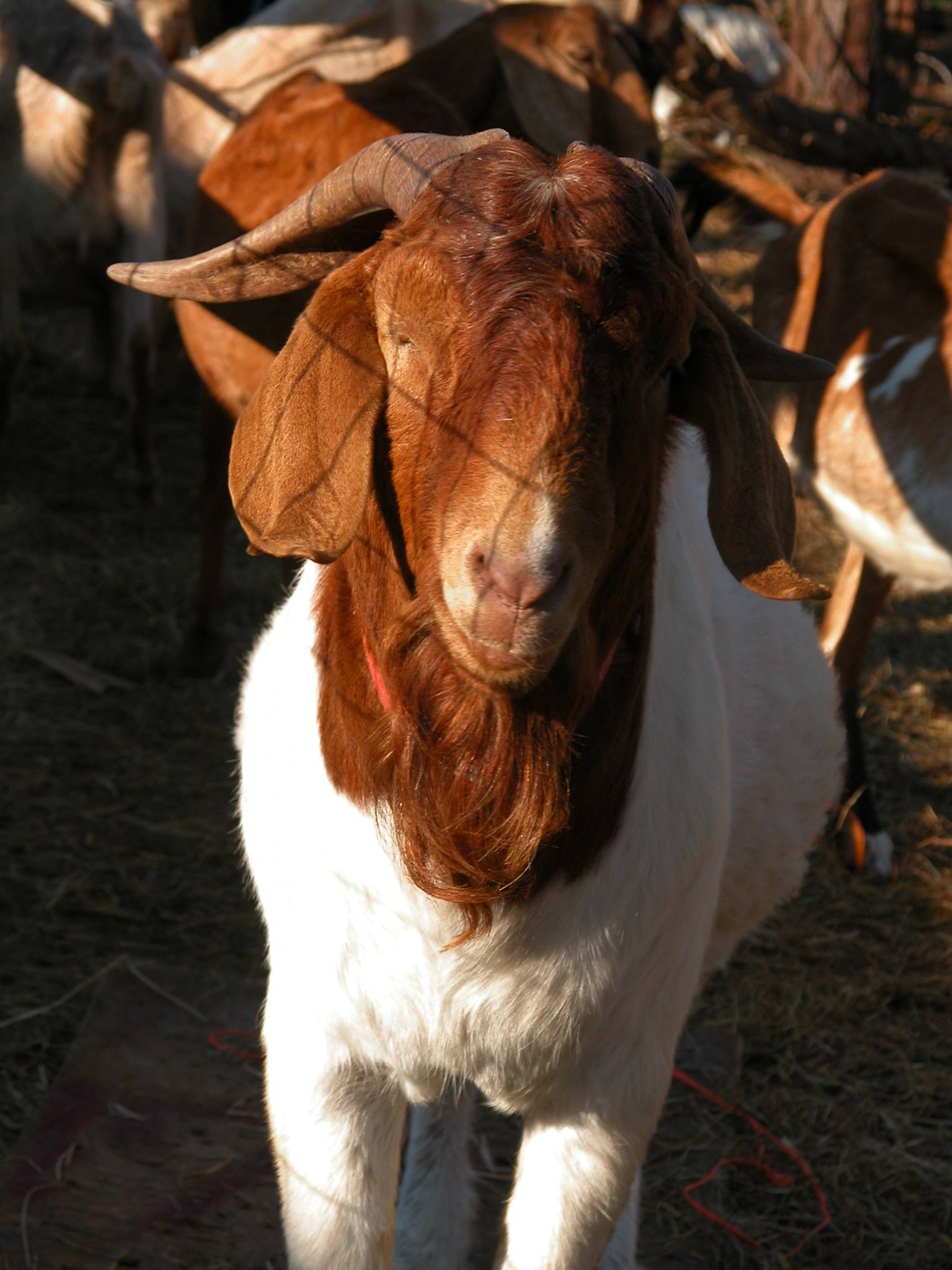 Goats By Breed - Boer - GOATWORLD.COM