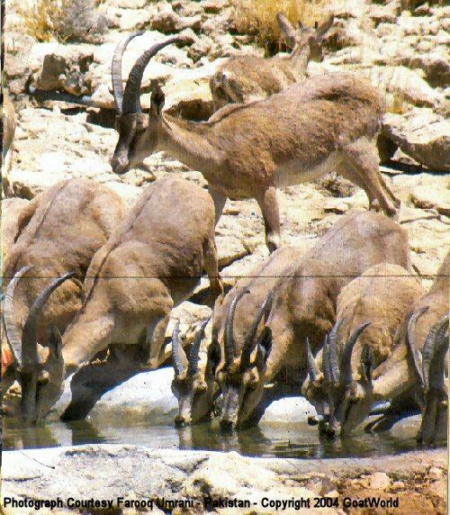 Sindh ibex - photo#9