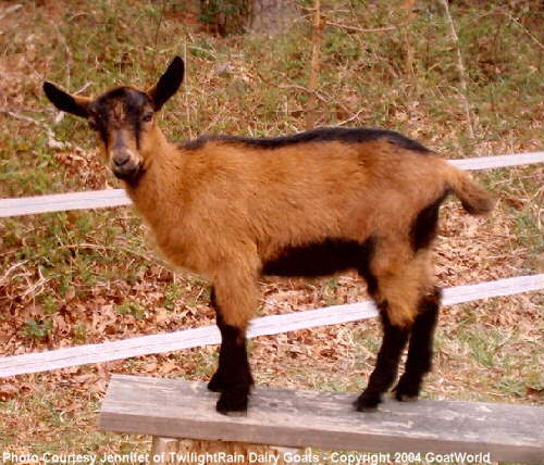 Goats By Breed - Oberhasli - GOATWORLD COM