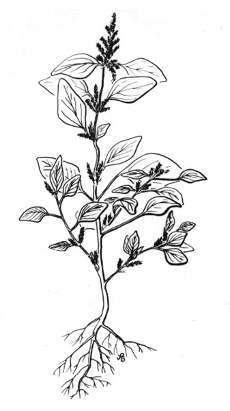 pigweed  amaranthus retroflexus